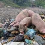 cerdos-triquinosis-imagen-ilustrativa