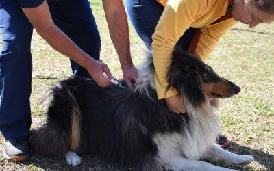 Vacunación antirrábica para caninos y felinos